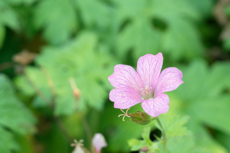 cranesbill: Single pink geranium or cranesbill flower with morning dew