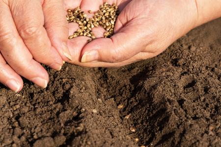 siembra: Mujer de sembrar las semillas de cáñamo en el suelo marrón
