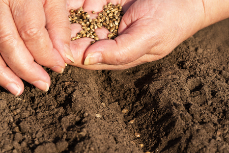 sowing: Woman sowing hemp seeds in brown soil