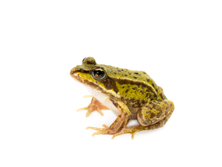Sitting small green frog seen from the side on white background