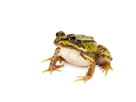 Sitting small green frog seen obliquely from front on white background Stock Photo