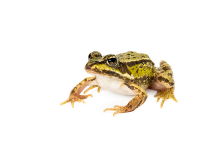 Small green frog ready to jump seen obliquely from front on white background