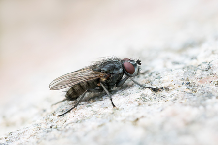 'compound eye': Macro of a flesh fly sitting on a bright rock surface
