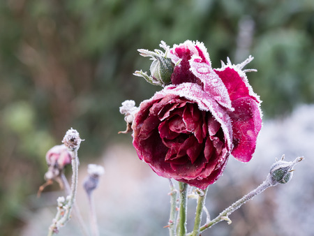 frosty: Frozen red rose with rime frost on it