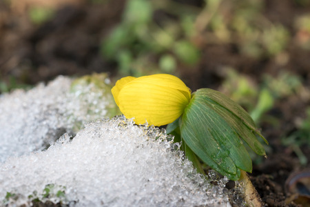Single winter aconite flower and some melting snow under it Stock Photo
