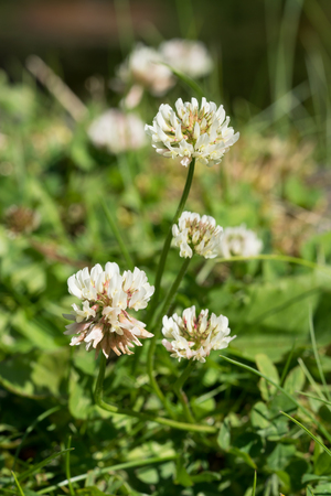 Some white clover flowers with focus on the two closest