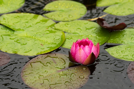 A red water lily flower and leaves seen obliquely from above in rain weather with drops falling  Stock Photo