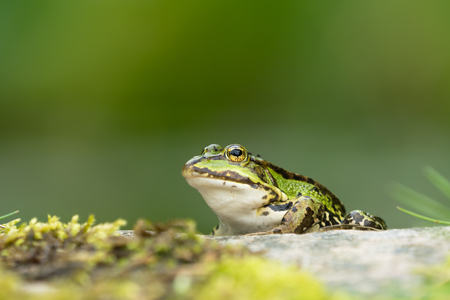 European green frog sitting on a rock facing left with vegetation in the blurred background Stock Photo