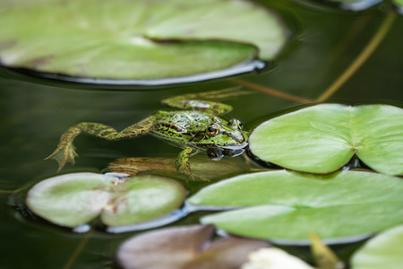 European green frog floating in the water between water lily leaves seen obliquely from above Stock Photo