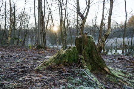 Old moss covered decaying tree stump with the setting sun behind it and hoarfrost on the ground Stock Photo