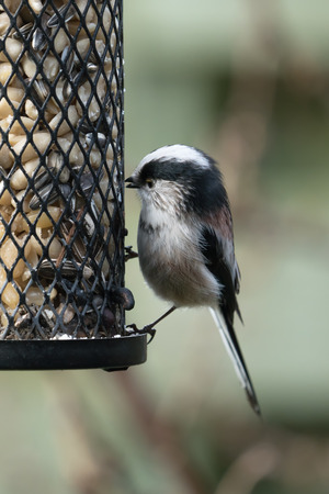 Small long-tailed tit or bushtit sitting on a bird feeder with peanuts and sunflower seeds