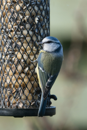 Small blue tit sitting on a bird feeder with peanuts and sunflower seeds Stock Photo