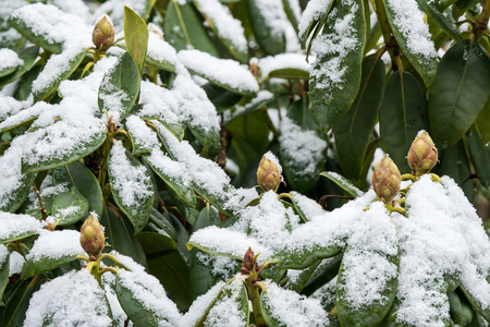Close up of rhododendron partly covered with snow in winter