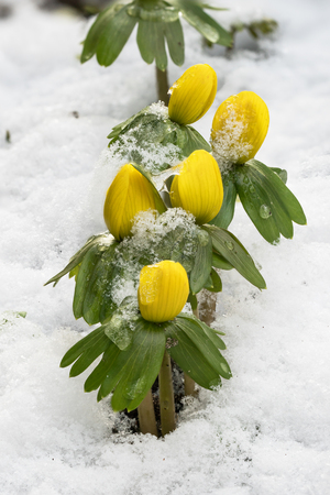 Group of winter aconite or eranthis in a line with snow Stock Photo