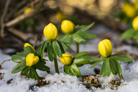 Group of winter aconite or eranthis close up seen from the side with snow