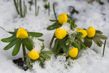 Group of winter aconite or eranthis with snow seen from above