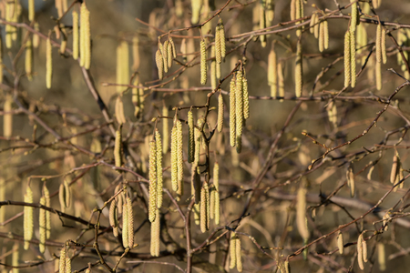 Close up of hazel catkin flowers in winter Stock Photo