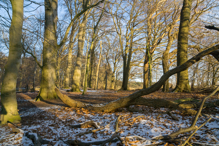 Beech trees in the forest at winter with a little snow on the frozen ground