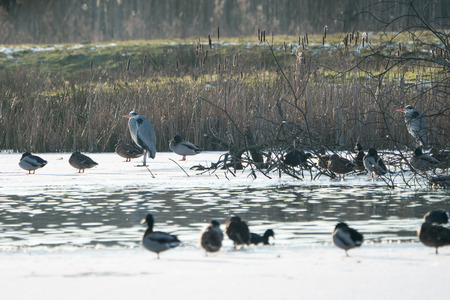 Mallards and grey herons on the ice around som open water on a frozen lake in winter