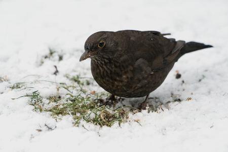 Eurasian blackbird female on the ground looking for food in the snow at winter