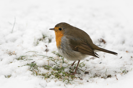 European robin bird on the ground looking for food in the snow at winter Stock Photo