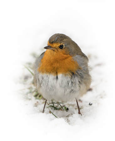Front view of european robin bird standing on the snow covered ground in winter with white background around it
