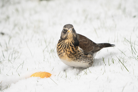 Fieldfare sitting on a snow covered lawn with a piece of apple looking up