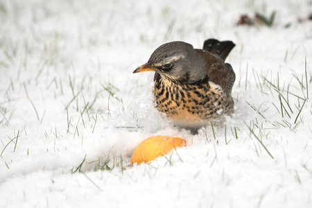 Hungry fieldfare sitting on a snow covered lawn looking at a piece of apple
