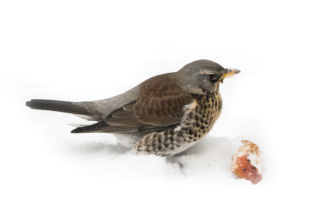 Hungry fieldfare sitting on a snow covered lawn with an apple piece partly isolated on white background looking to the right Stock Photo