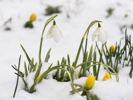 Close up of two snowdrop flowers in snow with winter aconite in the blurred foreground and background Stock Photo