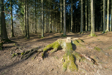 Tree stump in the foreground with pine trees in the background
