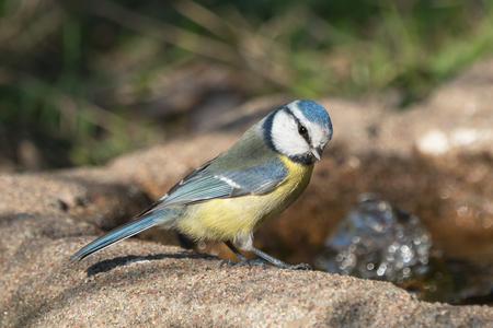 Cute blue tit bird sitting at the edge of a bird bath with the head turned a little