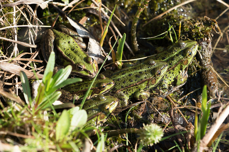Group of five green frogs warming up in the sun seen from above Stock Photo