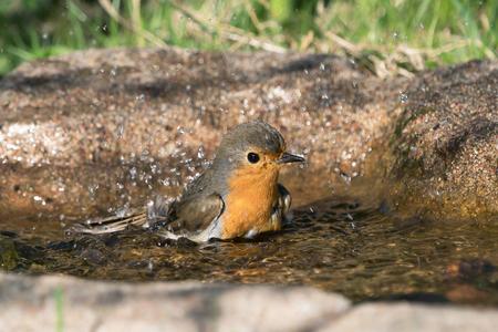 European robin bird taking a bath while facing right