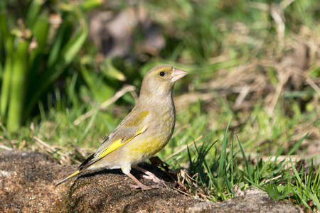 European greenfinch female bird standing on the ground looking to the right