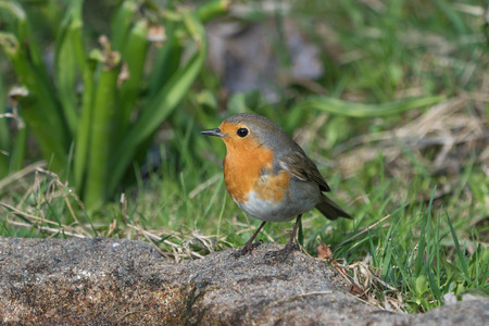 European robin bird standing on the ground looking to the left with grass and plants in the background Stock Photo