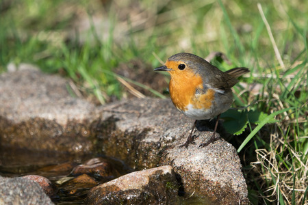 European robin bird standing at the edge of some water looking to the left with grass and plants in the background