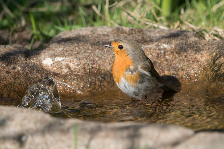 European robin bird standing in the water of a birdbath ready for a bath looking to the left