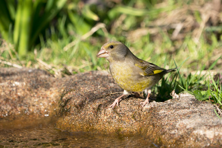 European greenfinch female bird standing at the edge of some water getting ready to drink
