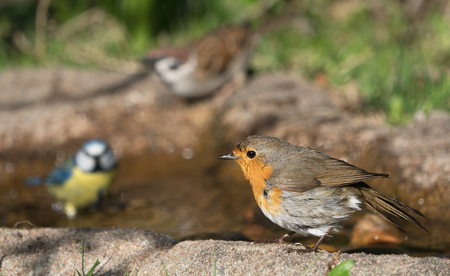 European robin bird standing at the edge of a bird bath looking to the left with a blue tit and a tree sparrow in the blurred background