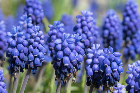 Close up of imperfect blue muscari or grape hyacinth flowers that have started to wither