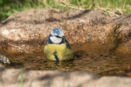 Cute blue tit bird sitting dipped in the water of a bird bath Stock Photo