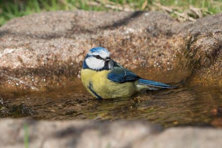 Cute blue tit bird sitting in the water of a bird bath Stock Photo