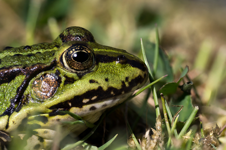 Close up photo of a green frogs head with large DOF seen from the side