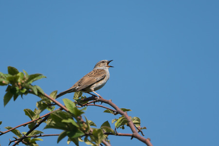 Singing dunnuch wit beak wide open sitting on a branch with a clear blue sky in the background Stock Photo