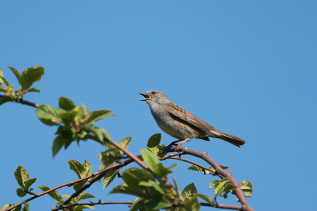Singing dunnuch wit beak wide open sitting on a branch facing left with a clear blue sky in the background Stock Photo