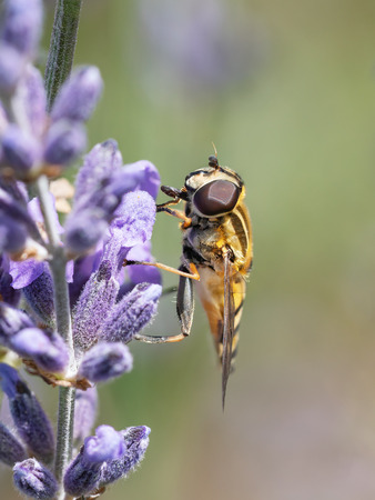 Hoverfly sitting on purple lavender flowes shucking nectar