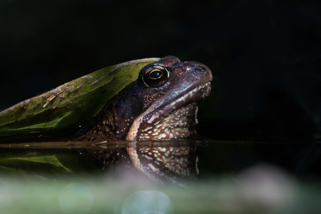 Big toad sticking its head up under a water lily leaf in a spot of light with almost black background