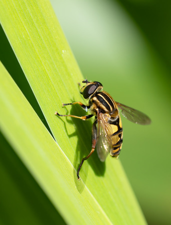Hoverfly sitting on a reed leaf Stock Photo