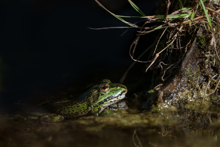 Side view of an european green frog in a spot of light in the water staring at something on a tree root with almost black background